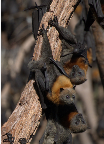 Grey-headed flying foxes (Pteropus poliocephalus). Photo by Adam McKeown