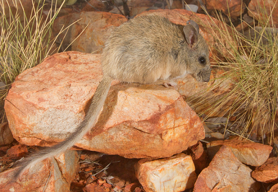 A photo of a central rock-rat sitting on a rock.