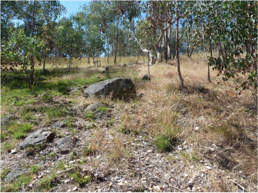 Native grass regrowth after fire (left) compared with unburned dry grass (right) in north-eastern Victoria