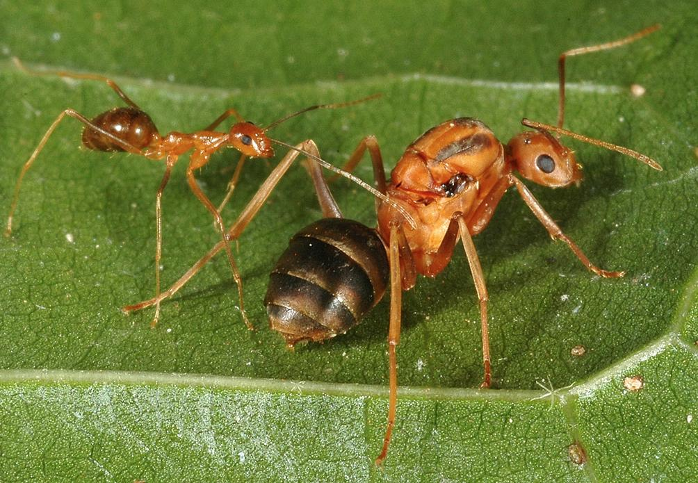 Yellow crazy ant (Anoplolepis gracilipes), and aerial baiting on Christmas Island to control yellow crazy ants.