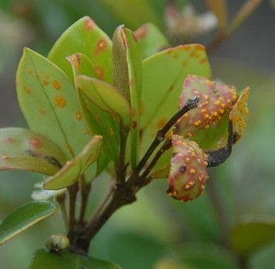 Eugenia reinwardtiana with myrtle rust.